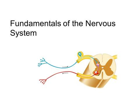 "Fundamentals of the Nervous System. one Basic division of the Nervous System (although there is only one NS)  Central nervous system (""CNS"") – occupies."