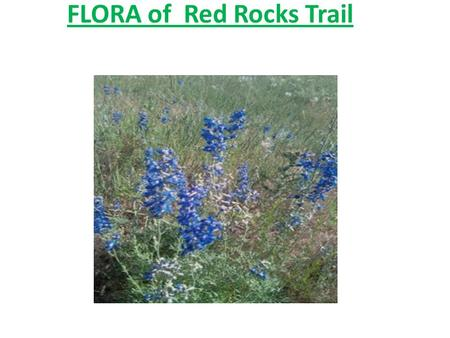FLORA of Red Rocks Trail. Cabbage-like Plant Mullein – an easy to grow herb, often seen in disturbed areas such as fields. A multi-purpose herb, mullein.