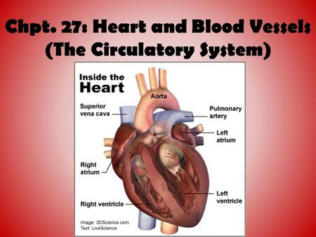 Chpt. 27: Heart and Blood Vessels (The Circulatory System)