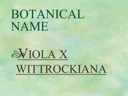 BOTANICAL NAME  V IOLA X WITTROCKIANA PRONUNCIATION  vie - OH - lah.