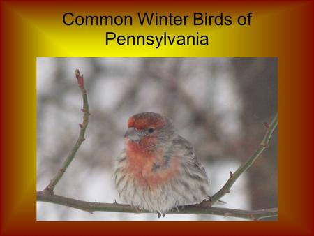 Common Winter Birds of Pennsylvania