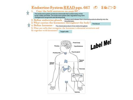 Endocrine System READ pgs. 667 - 671) 1.Copy the bold sentences on page 667 – 2. Define endocrine glands - 3. What carries the hormones throughout the.