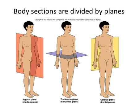 Body sections are divided by planes. Body Sections 1.Sagittal Plane 1.lengthwise (head-to-toe) 2.divides body into left and right sections 3.Median –