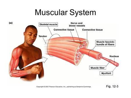 Muscular System. Anatomy of a Muscle Major Functions of the Muscular System Produce Movement Heat production Maintain Posture.