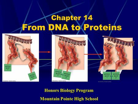 Chapter 14 From DNA to Proteins Honors Biology Program Mountain Pointe High School.