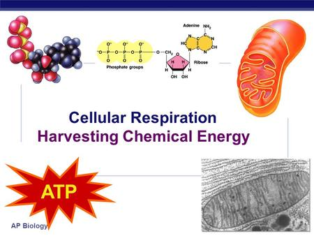 AP Biology 2006-2007 Cellular Respiration Harvesting Chemical Energy ATP.