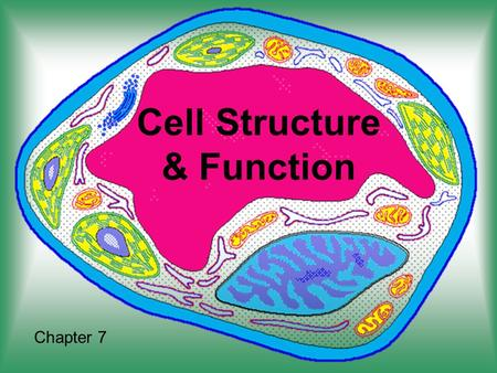 Cell Structure & Function Chapter 7. The Discovery of the Cell Without a tool to make them visible cells were until the invention of the microscope 1665.