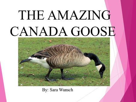 THE AMAZING CANADA GOOSE By: Sara Wunsch. What does my animal look like?  Their feathers are gray, white, black, and tan  They have a small tail  22-48.