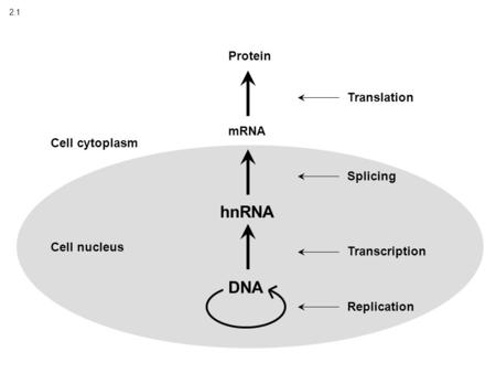 2.1 DNA Replication Transcription hnRNA Splicing Translation Cell nucleus Cell cytoplasm mRNA Protein.