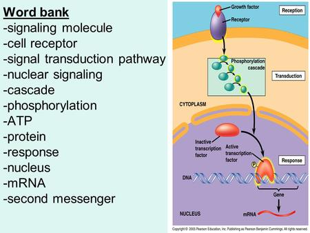 Word bank -signaling molecule -cell receptor -signal transduction pathway -nuclear signaling -cascade -phosphorylation -ATP -protein -response -nucleus.