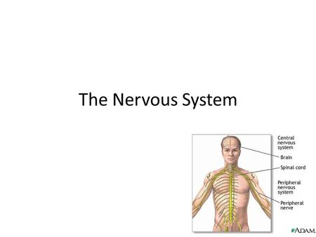 The Nervous System. Review: What makes up the Nervous System? The brain Spinal cord Nerves 2 types of cells: – neurons: send and receive signals – glial.
