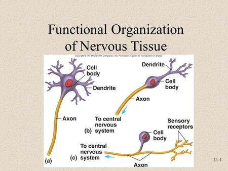 11-1 Functional Organization of Nervous Tissue. 11-2 The Nervous System Components –Brain, spinal cord, nerves, sensory receptors Responsible for –Sensory.