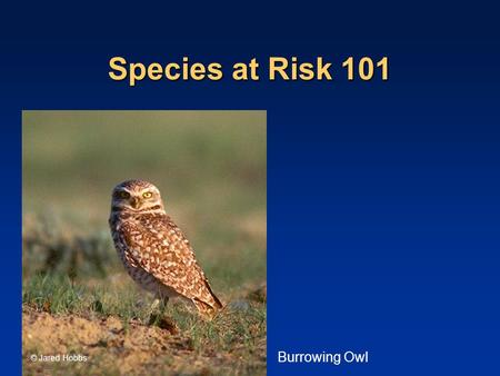 <strong>Species</strong> at Risk 101 © Jared Hobbs Burrowing Owl. Outline Background and History Background and History (the Accord and SARA) (the Accord and SARA) Sticks.