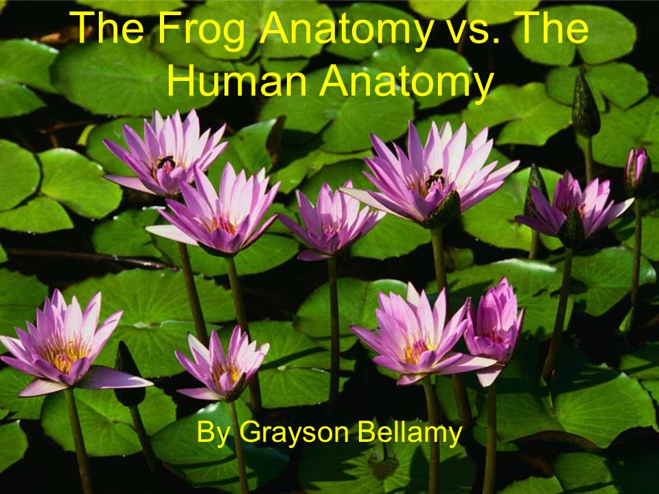 The Frog Anatomy Vs The Human Anatomy Ppt Video Online Download