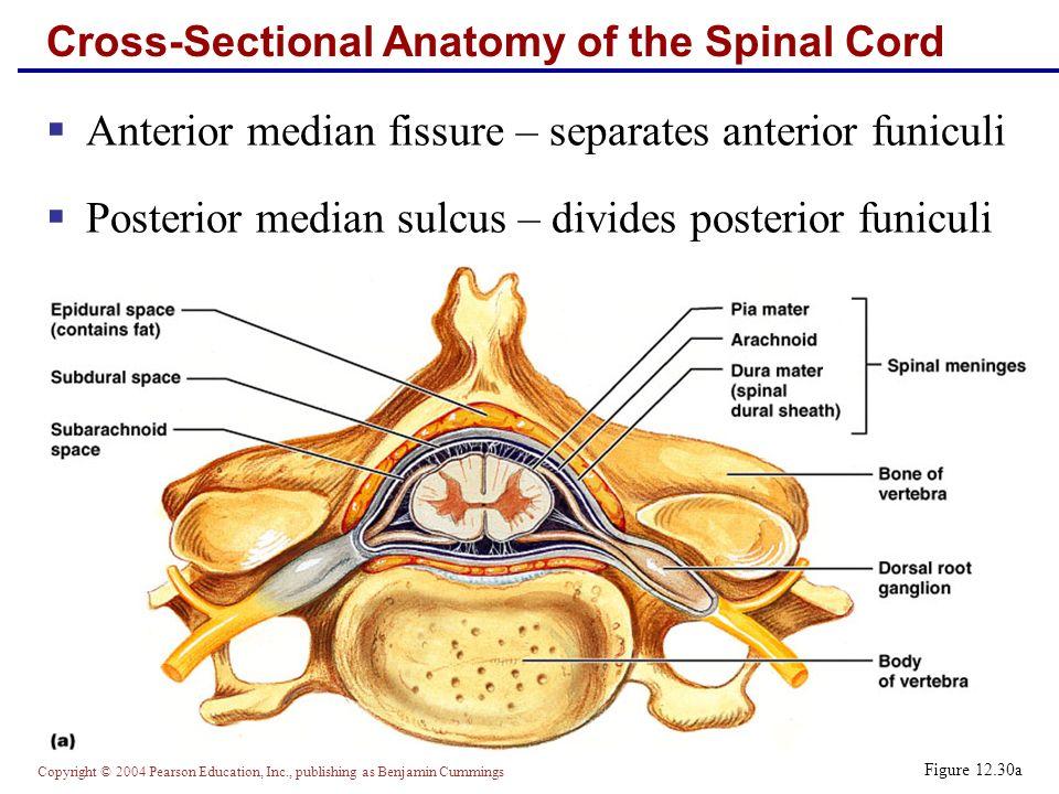 Enchanting Cross Sectional Anatomy Of Spinal Cord Image - Human ...