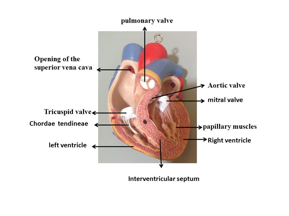Attractive Tricuspid Valve Anatomy Illustration - Anatomy Ideas ...