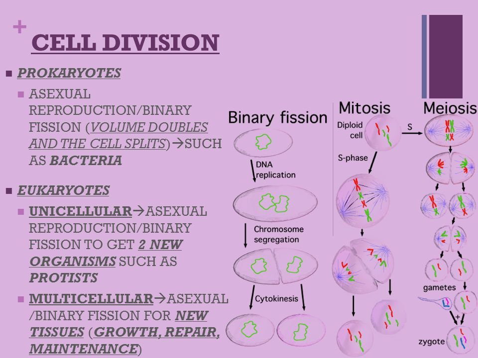 Cell division used for asexual reproduction by unicellular organisms images 39