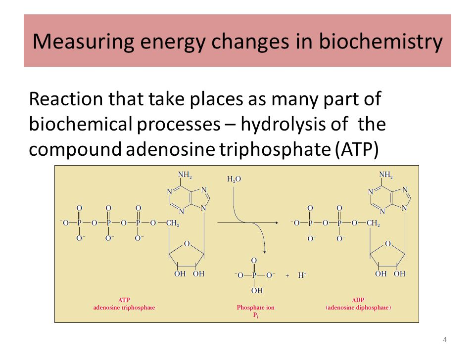 atp and adenosine biochemistry and metabolism Learn why atp is an important molecule in metabolism and get interesting facts about adenosine triphosphate  biochemistry basics chemical laws molecules periodic table projects & experiments  metabolic reactions involving atp adenosine triphosphate is used to transport chemical energy in many important processes, including:.