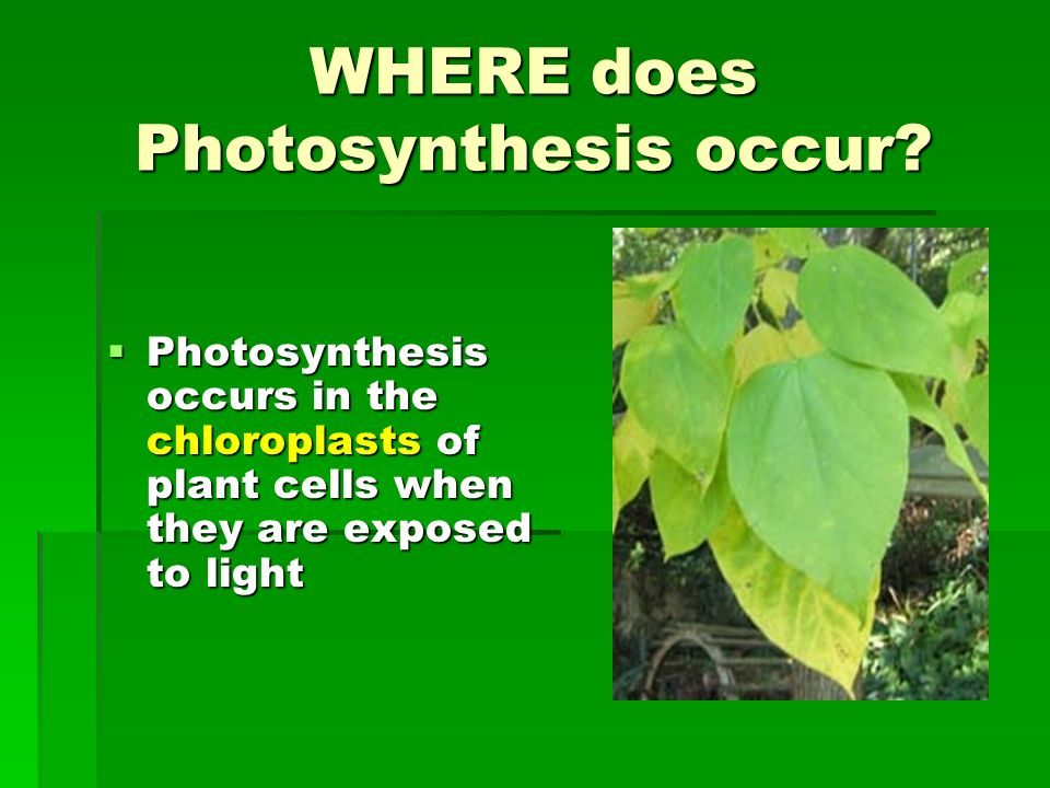 photosythesis occur Photosynthesis is the process which is used by plants to prepare their own food, as they are autotrophs it occurs in day time because for the photosynthesis to take place, two things are required.