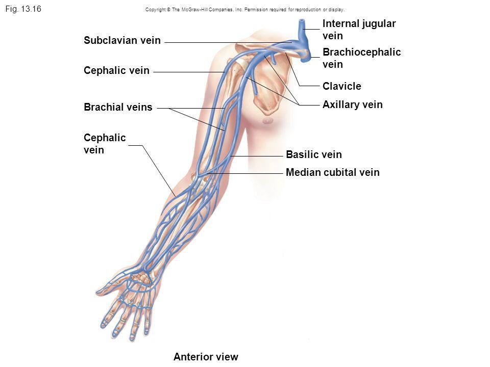Internal jugular vein Subclavian vein Brachiocephalic vein