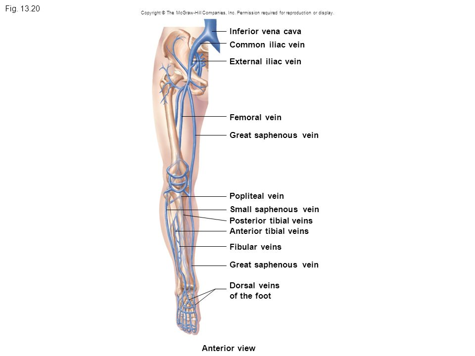 Awesome Peroneal Vein Anatomy Picture Collection - Anatomy Ideas ...