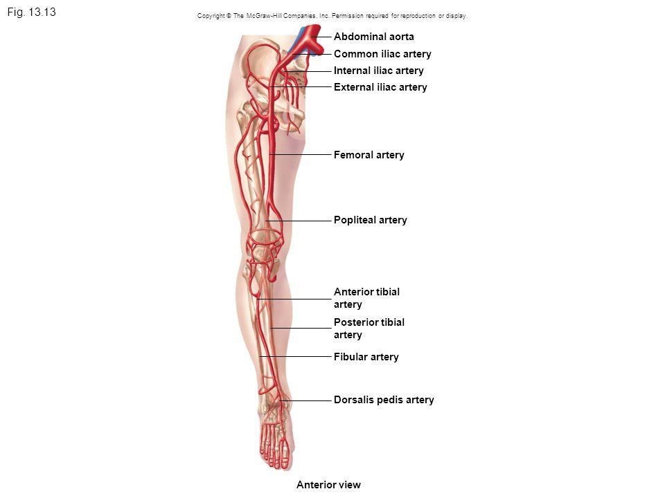 Fig. 13.13 Abdominal aorta Common iliac artery Internal iliac artery