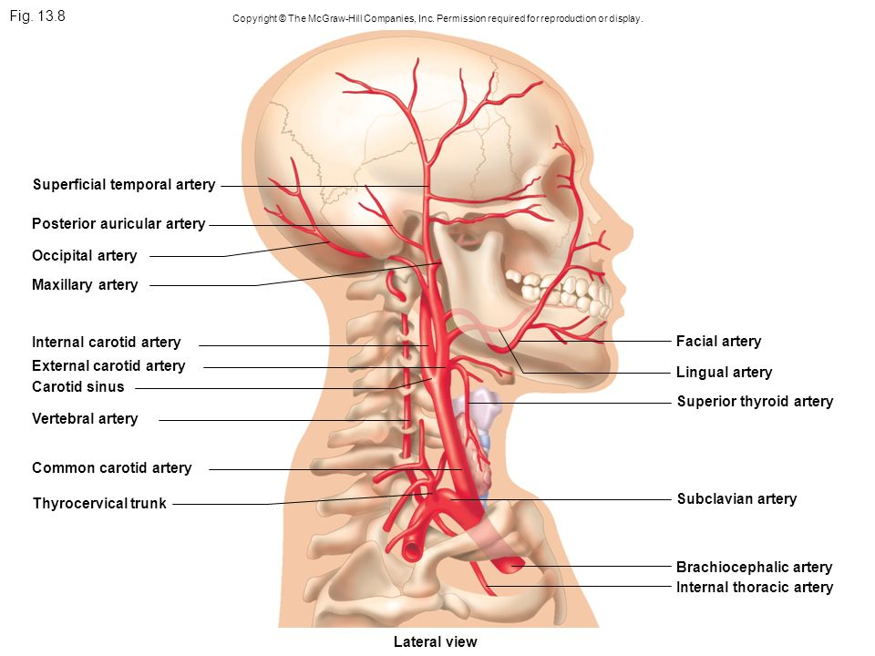Fig Arteries Of The Head And Trunk Internal Carotid Ppt Video