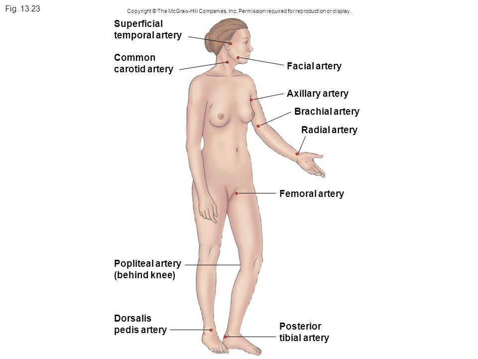 Superficial temporal artery Common carotid artery Facial artery