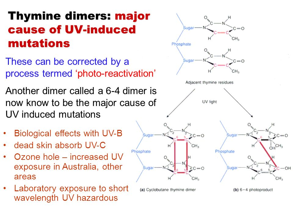 uv radiation induces a mutation Mutations induced by ultraviolet light  is distinct from that of the shorter wavelength uv and is characterized  mutation neoplasms, radiation.
