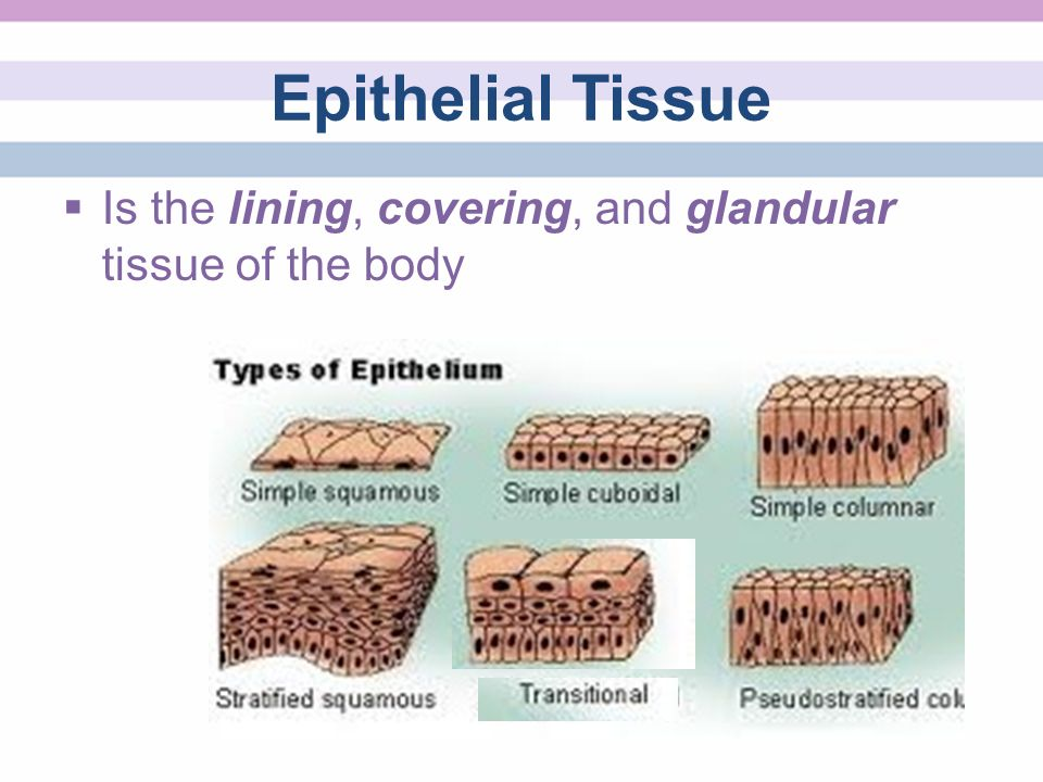 glandular epithelial tissue Basic types of tissue epithelial – lines inner and outer surfaces of the body glandular secretion epithelial tissue & glands.