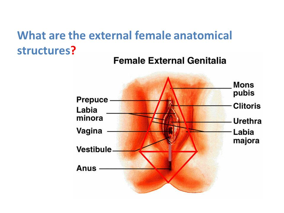 External Female Anatomy Images - human body anatomy