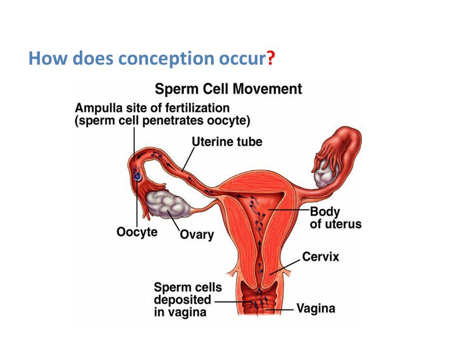 Fantastisch Sperm Cell Ideen Menschliche Anatomie Bilder