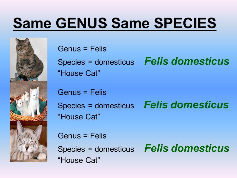 House Cat Scientific Name Phylum Chordata Binomial
