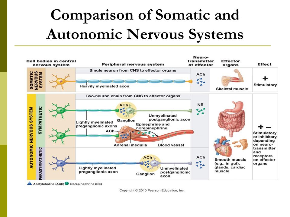 THE AUTONOMIC NERVOUS SYSTEM - ppt video online download | 960 x 720 jpeg 103kB
