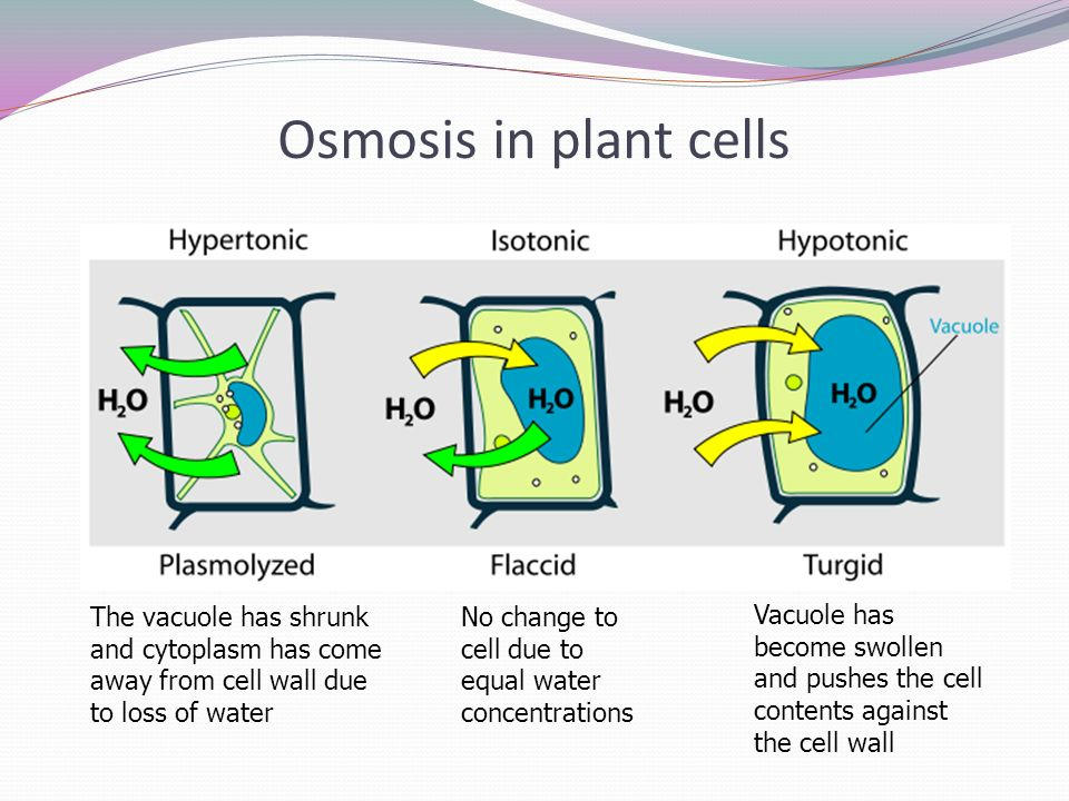 osmosis cell wall and water Overview the cell membrane forms a barrier around the cell and osmosis water is special because it is a polar molecule that the pressure that water molecules exert against the cell wall is called turgorpressure.
