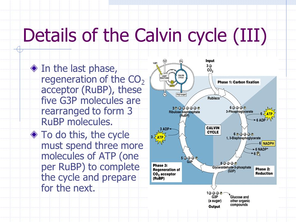 Aim What Happens During The Calvin Cycle Ppt Download