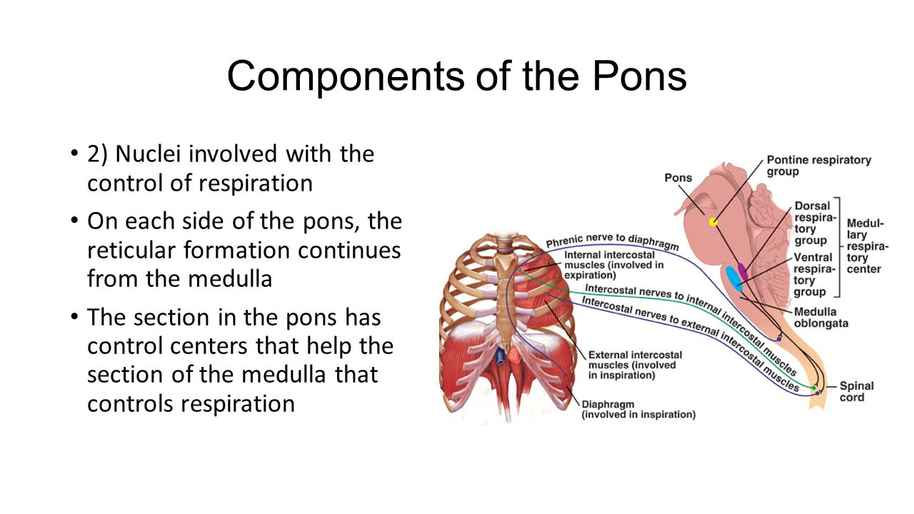 Anatomy of pons