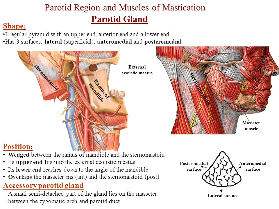 Parotid Region And Muscles Of Mastication Parotid Gland Ppt Video