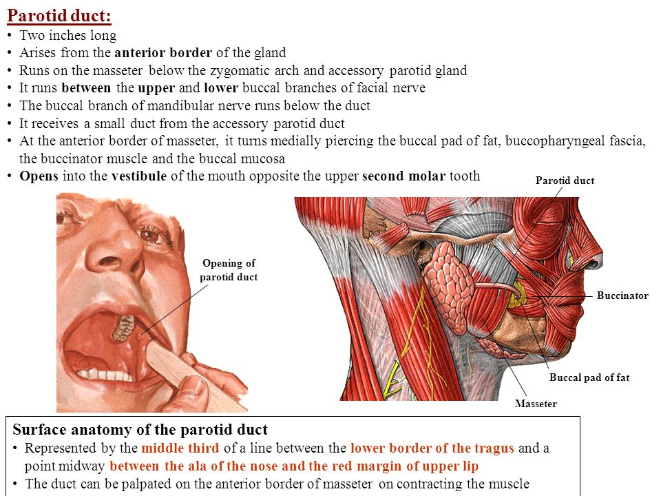 Parotid Region And Muscles Of Mastication Parotid Gland Ppt Video