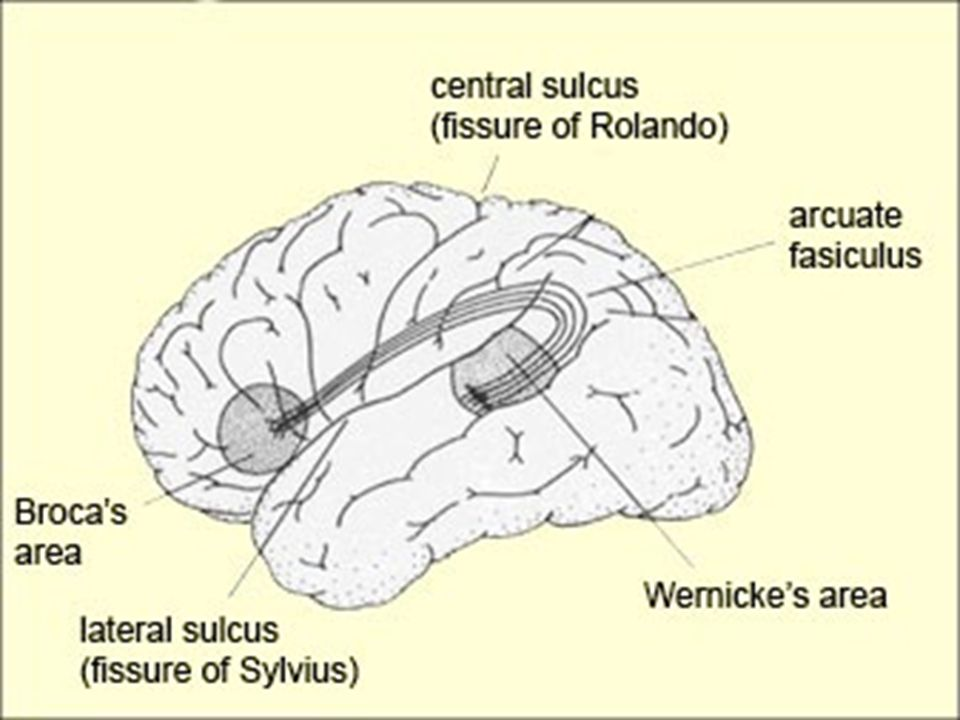 a study of the brain processes affected by deafness and aphasia Aphasia voice, speech language  us department of health & human  services  areas of the brain affected by broca's and wernicke's aphasia.