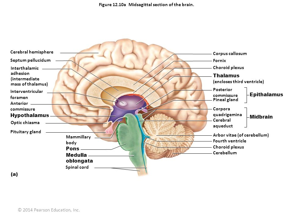 Brain Diagram Midsagittal Electrical Work Wiring Diagram