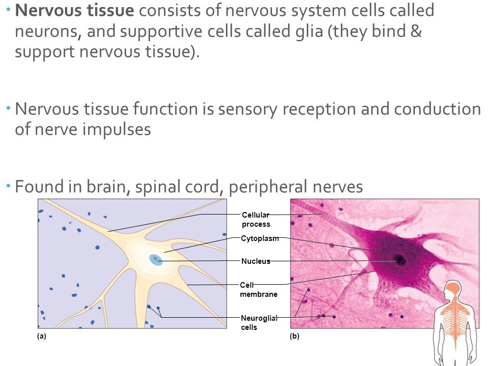 nervous tissue function Neuroglia are nervous tissue cells that do not conduct nerve impulses like neurons, but provide a support function for nervous system components.