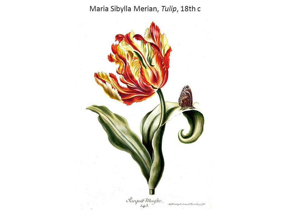 Maria Sibylla Merian, Tulip, 18th c