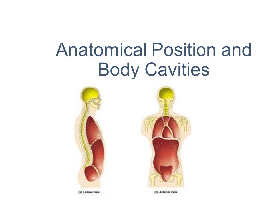 Anatomical Position And Body Cavities Ppt Video Online Download