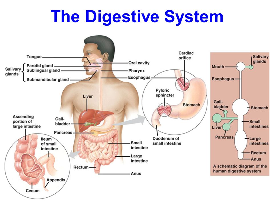 The digestive system ppt video online download ccuart Gallery