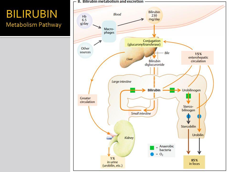 bilirubin formation and excretion Bile pigment excretion: acomparison of the biliary excretion of bilirubin and bilirubin derivatives rogerlestertandpeterdkleinwiththetechnicalassistanceof.