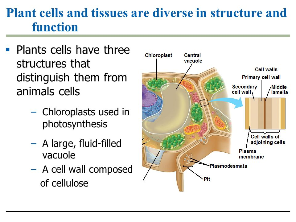 Cell Wall - What's it for?