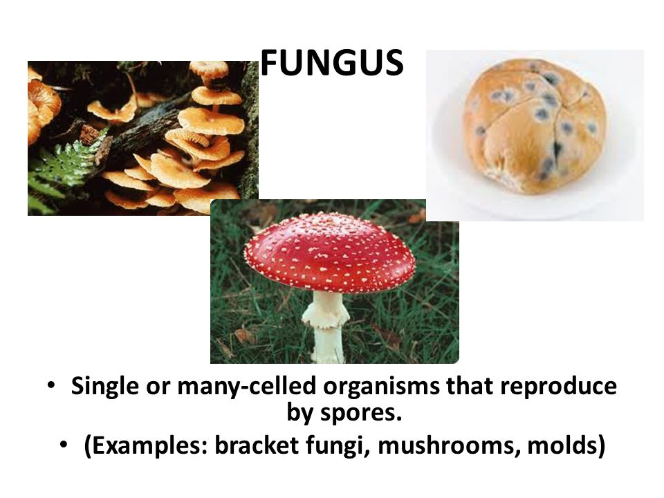 Fungus and single celled fungi essay example
