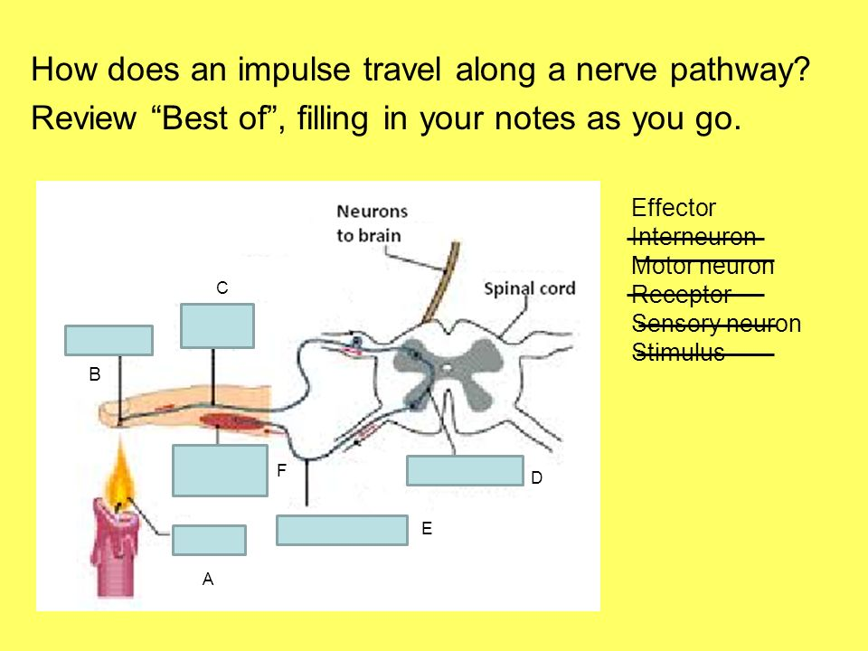 how an impulse travels down a neuron Dendrites receive nerve impulses from other neurons or from sensory receptors   that the impulse travels along the axon as a self-generating chain reaction.