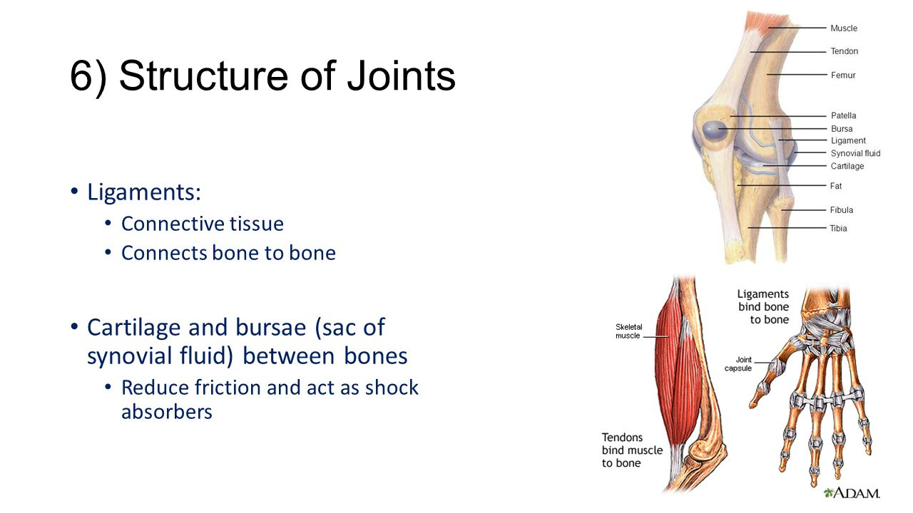 interconnection between muscle and bone
